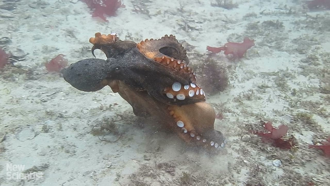 Phản ứng lạ của bạch tuộc cái khi bị con đực quấy rối