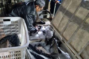 Trung Quốc đề xuất rút ngắn thời gian thông quan cá tầm vào Việt Nam