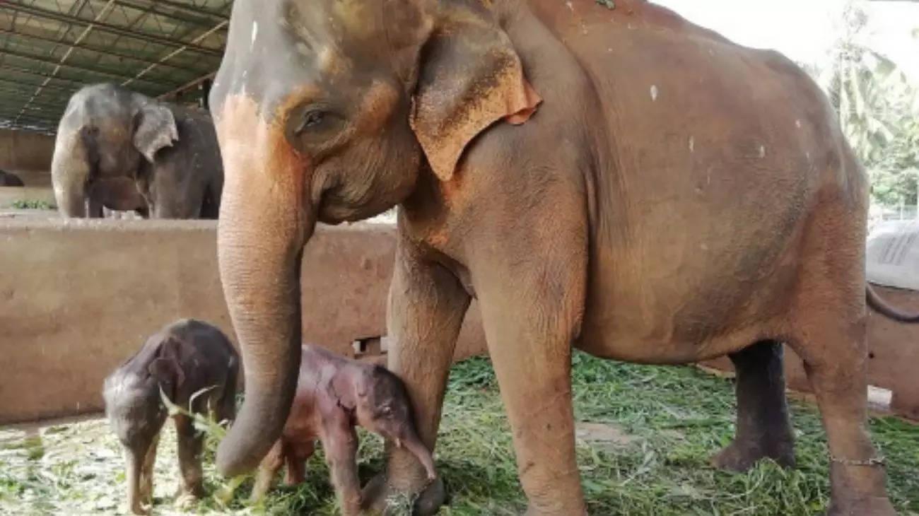 Voi mẹ sinh đôi, 80 năm mới có một lần ở Sri Lanka