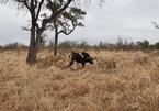 Trâu rừng bạo gan đối đầu với sư tử giải cứu đồng loại