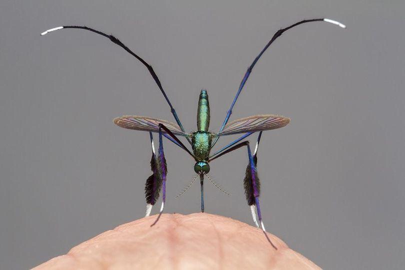 Cận cảnh loài muỗi đẹp nhất thế giới, đặc điểm kỳ lạ ở chân gây ấn tượng