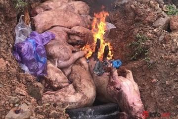 Đắk Nông: Dịch tả lợn châu Phi bùng phát ở một huyện, tiêu hủy hơn 3 tấn lợn
