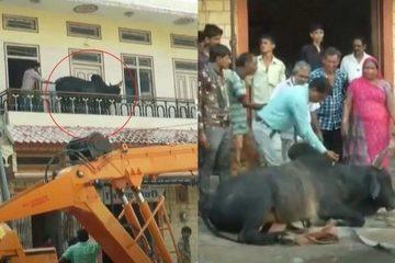 Gian nan giải cứu con bò nặng 200kg tự leo lên tầng 2 tòa nhà tránh mưa