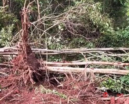 Vụ 18 cây bằng lăng cổ thụ bị đào tung gốc, lý do gì không chuyển công an điều tra?