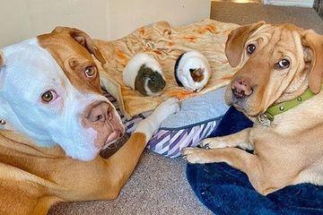 Ngược đời chú chó 34kg kết thân với chuột lang bé xíu