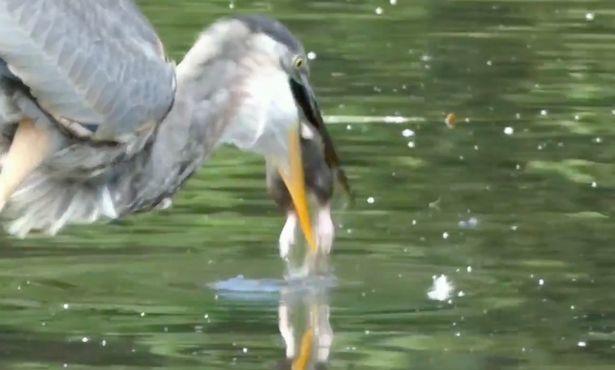 Tròn mắt xem chim diệc xanh bắt chuột trên hồ nước