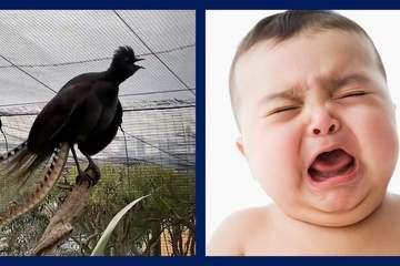 Cầm điểu trong sở thú Australia gây sốc vì bắt chước tiếng khóc trẻ em giống như thật