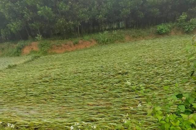 Thanh Hóa: Lúa đổ rạp, hoa màu ngập, đường xá sạt lở do ảnh hưởng của bão số 5