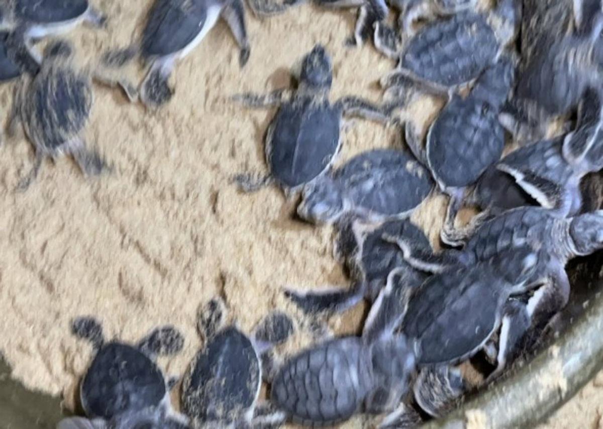Hơn 50 cá thể rùa biển 'chào đời' nhờ bảo vệ ổ trứng rùa tại Bình Định