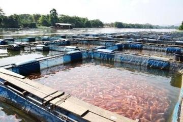 8 tháng đầu năm 2021, sản lượng nuôi trồng thủy sản ở Vĩnh Long ước đạt trên 66 triệu tấn