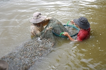 Đồng bằng sông Cửu Long phấn đấu đạt gần 1 triệu hecta nuôi trồng thủy sản tới năm 2030