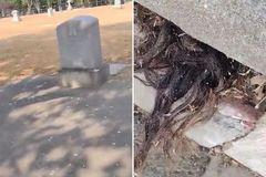 Kinh dị đám tóc màu đen 'mọc ra' từ ngôi mộ 100 tuổi
