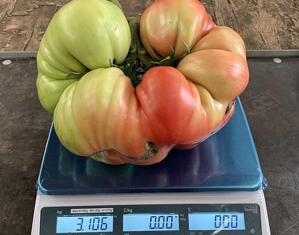 Cây cà chua bi 'khủng' giúp người làm vườn thu được 839 quả