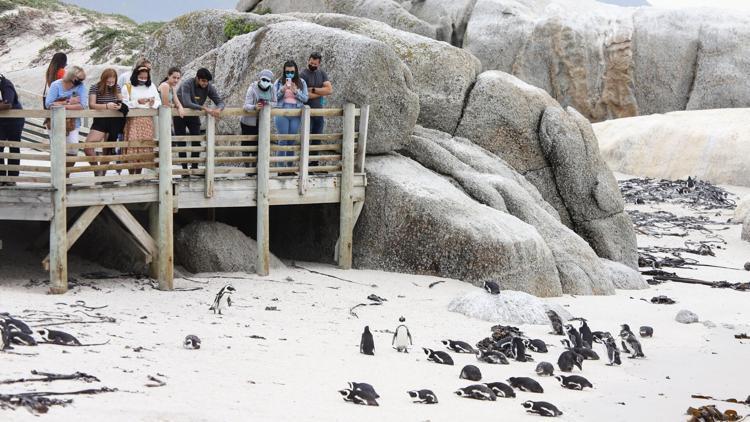 Sinh vật nhỏ bé  này là thủ phạm giết chết 63 chim cánh cụt châu Phi