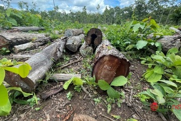 Khám nghiện hiện trường vụ 27m3 gỗ trái phép chất đống trong Trung tâm Bảo tồn voi Đắk Lắk