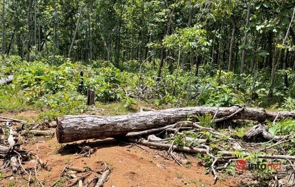 Hàng trăm lóng gỗ vô chủ trong Trung tâm bảo tồn voi Đắk Lắk: Lập hồ sơ khởi tố vụ án chuyển cho công an