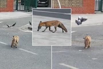 Cáo săn mồi ngay trên đường phố London buổi sáng