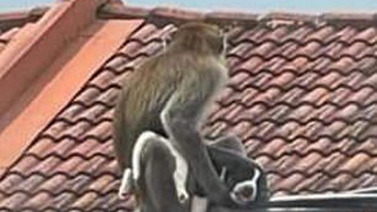 Khỉ hoang bắt cóc chó nhà làm con tin, ba ngày sau mới trả về