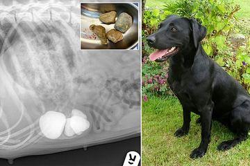 Chú chó nuốt phải 11 viên đá khi đi dạo và cái kết