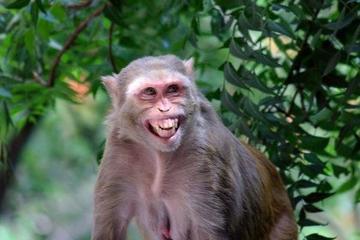 Bị xua đuổi, khỉ tinh quái ở Ấn Độ tự bắt xe tải đi 22km từ rừng về làng