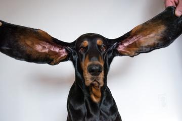 Cận cảnh đôi tai dài hơn 30 cm của chú chó lập kỷ lục thế giới