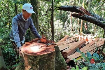 Quảng Nam: ''Lâm tặc'' lộng hành chặt phá nhiều cây cổ thụ đường kính hàng mét