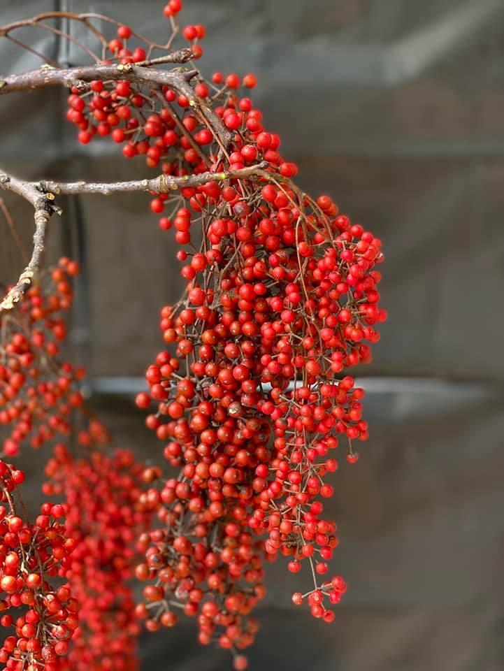 Cành quả đỏ rực, căng mọng, trĩu trịt có tên 'kỳ diệu', ai ai nhìn cũng mê