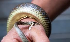 Bé 13 tuổi tử vong do rắn cắn, bác sĩ cảnh báo thói quen nhiều gia đình hay mắc