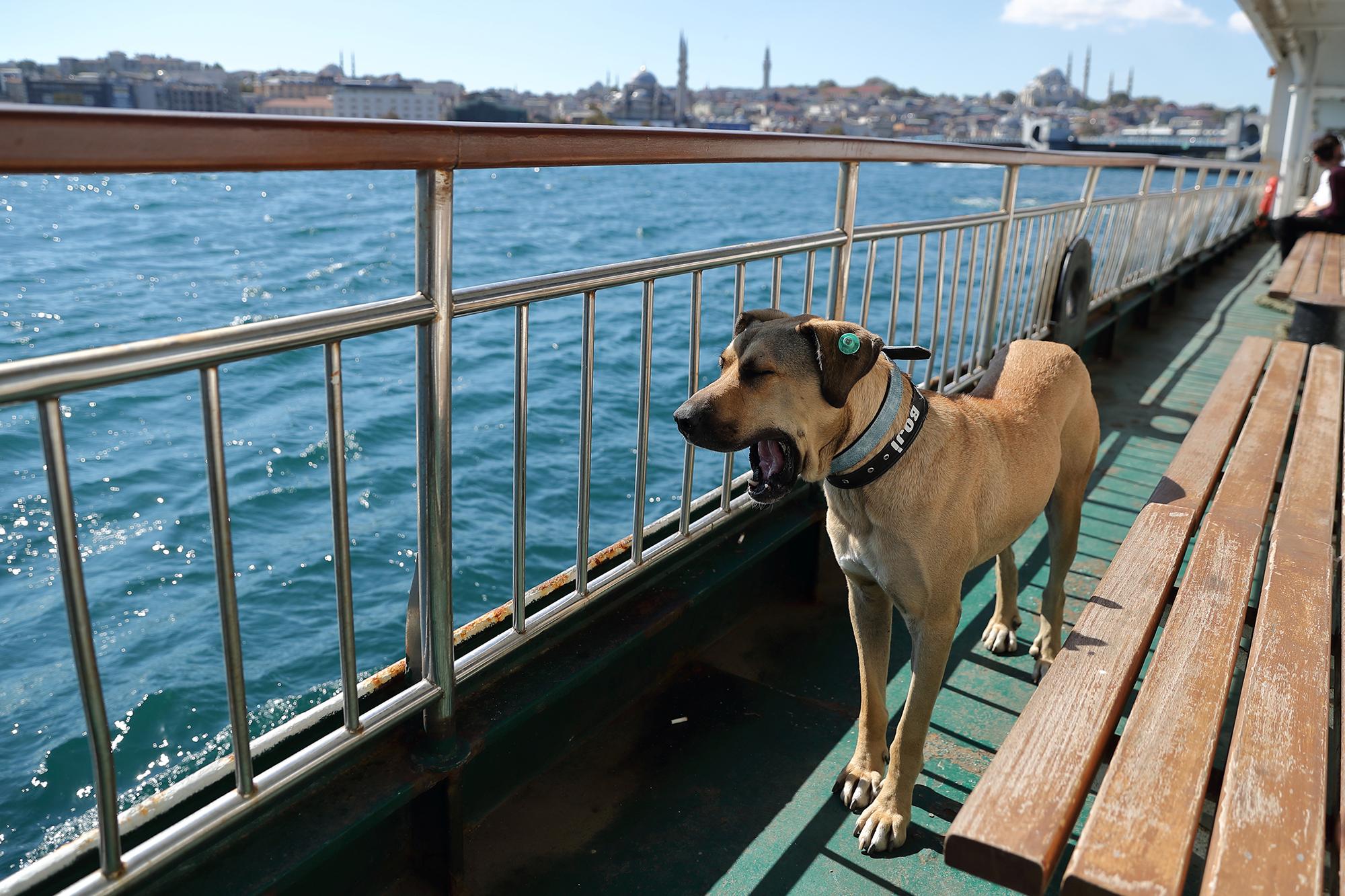 Chú chó đường phố Thổ Nhĩ Kỳ trở thành siêu sao toàn cầu, 70.000 người theo dõi