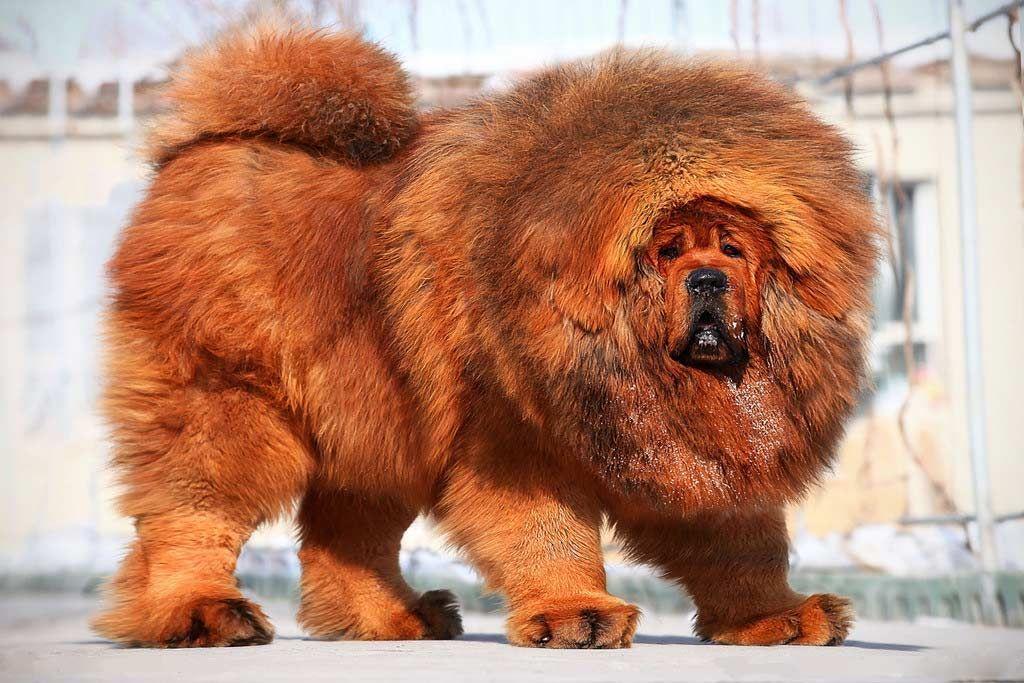 Loài chó đắt nhất thế giới, giống sư tử, vô cùng quý hiếm