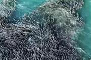 Màn 'khiêu vũ' tuyệt đẹp của đàn cá khổng lồ trong đại dương