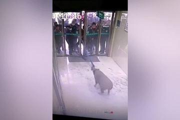 Con lợn rừng 100kg xông vào ngân hàng, nhân viên hoảng sợ nhanh tay chốt cửa