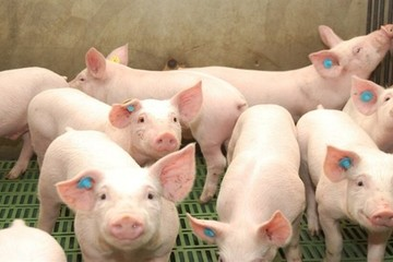 Xuất bán đàn lợn lỗ ngay hơn 30 triệu, người vay nợ xót xa vì đàn lợn đang 'ăn' mất sổ đỏ