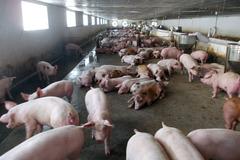 Chủ tịch Tập đoàn chăn nuôi lớn nhất miền Bắc: Cứ bán một con lợn lại lỗ mất một con