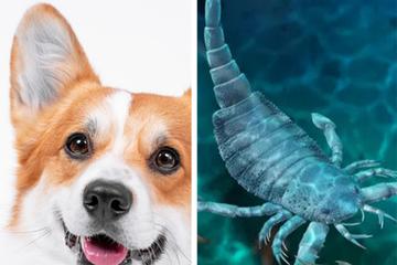 Con bọ cạp biển to bằng chó nhà xuất hiện ở Trung Quốc