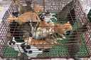 'Nữ quái' điều hành một ổ nhóm bắt trộm mèo, dùng ô tô tải vận chuyển 'chiến lợi phẩm'