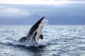 Lý do bất ngờ giải thích tại sao cá mập trắng lớn tấn công con người